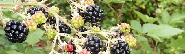 ブラックベリー、ラズベリー2種類をベースになハーブスパイスハチミツを配合、ブランデーコニャックを加え高級感有る濃厚で香味豊かなシャンボールリキュールが生まれる。